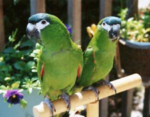 Hahn's macaw couple