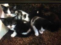 Black and white female kitten