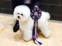 Show standard bichon frise puppy