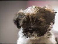 Lhasa Apso male pup