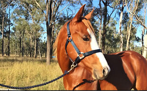 Paint Bred Quarter Horse Mare Rosewood Ipswich City Preview