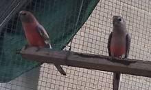 burke parrots Glenelg South Holdfast Bay Preview
