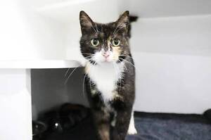 "Tortie girl ""Nora"" at pound urgently seeks new home! Campbelltown Campbelltown Area Preview"