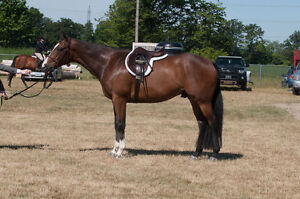 Always in the Ribbons Classy Thoroughbred Gelding