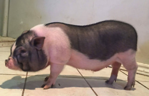 Pot Belly Piglet - still available due to no shows