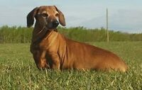 **Adorable Thumper - DACHSHUND cross is available for adoption**