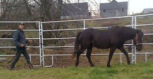 """REDUCED / """"HOLLY""""  REGISTERED BASHKIR CURLY"""