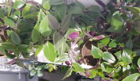 Tradescantia Inch Plant