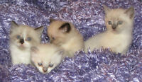 Siamese Himalayan kittens for sale