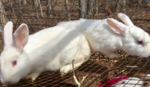 Pure Breed New Zealand White Rabbits, $15 Each - St. Thomas