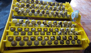 Brand new incubators and quail hatching eggs for sale