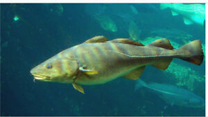 Wanted to buy a groundfish longline license