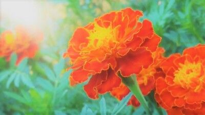 Heirloom French Marigold Flower Seeds Mix Pick Your Amount orange gold yellow
