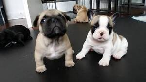 French Bulldogs Holden Hill Tea Tree Gully Area Preview