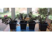 Four Jade Money Plants averaging 16 inches tall