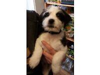 Shih Tzu x JRT Puppy