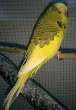 Olive green and yellow cinnamon pied female budgie Hillbank Playford Area Preview