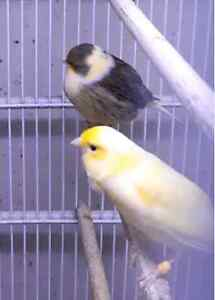 Canaries for sell