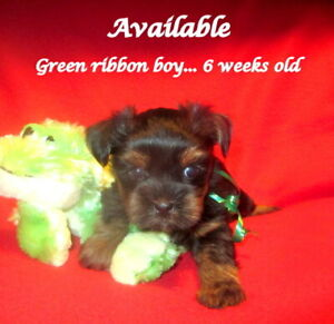 YORKIE/LHASA PUPS, NON-SHEDDING, HOME-RAISED,RESERVE NOW!