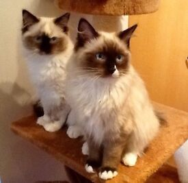 Cat Sitter Wanted - Tayside area