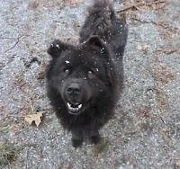 "Adult Male Dog - Chow Chow: ""buddy"""