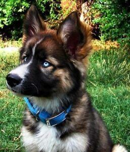 WANTED; German Shepherd Husky Puppy