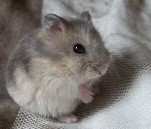Sweet & cute 3 month old Russian dwarf hamster for sale
