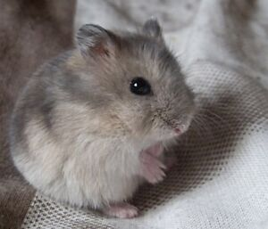 Very playful 2 month old Russian dwarf hamster for sale