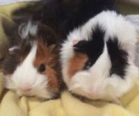 Guinea pigs free to a good home!