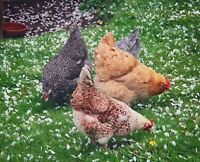 LAYING HENS WANTED