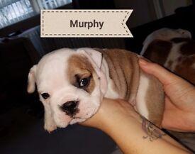 English bulldog puppies 1 girl 2 boys