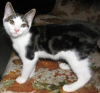 "Baby Male Cat - Domestic Short Hair - gray and white: ""Rossi"""