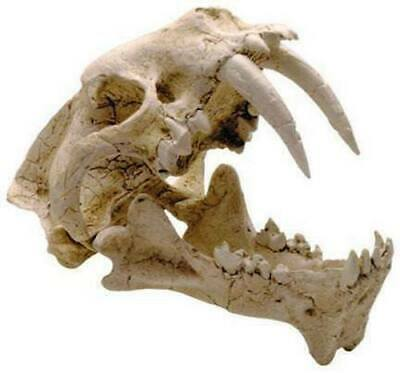 Prehistoric Hoplophoneus Saber Tooth Cat Ancestor Skull Fossil Replica Model for sale  Anaheim