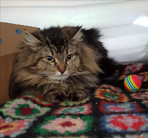 """Young Female Cat - Domestic Long Hair: """"Sassy(in Rehab)"""""""
