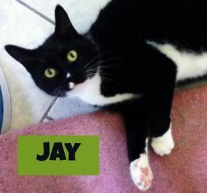 "Adult Male Cat - Domestic Short Hair (Black & White): ""Jay"""