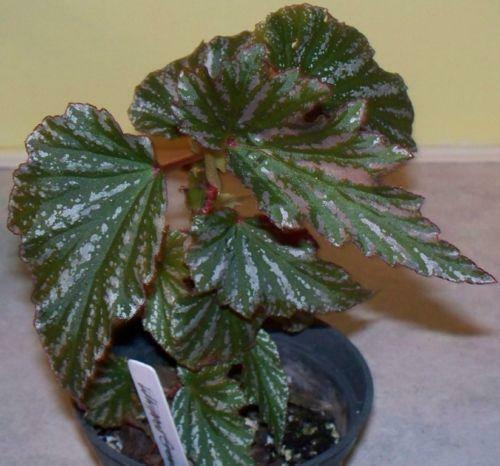 Angel Wing Begonia: Houseplants | eBay