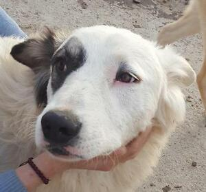 """Adult Male Dog - Border Collie-Great Pyrenees: """"PIRATE"""""""