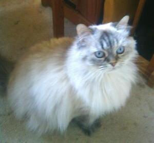 "Senior Female Cat - Himalayan: ""Sherry (Bonded to Kahlua)"""