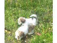 Beautiful teddy bear puppies for sale
