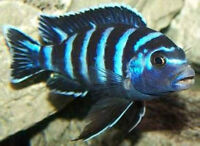 Large Adult Demasoni Now Available $15 Ea. or All 5 for $60.