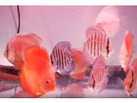 4 inch Discus tropical peaceful community fish