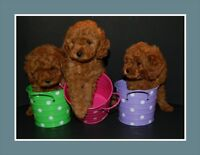 REGISTERED RED TOY FEMALE POODLE..ready to go