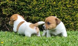 Miniature Jack Russell pups.
