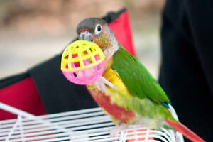 ❤★❤Friendly Conures Available with Cage❤★❤