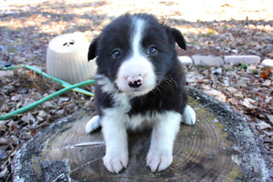 Stunning Pure Border Collie Puppies
