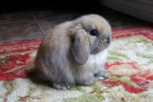 Pure Mini Holland Lop Baby Bunny