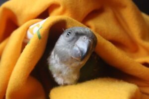 Baby African Senegal Parrot - Handfed