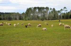 Sheep for sale.