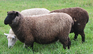 4 BFL- Romney and Gotland Cross Ewes