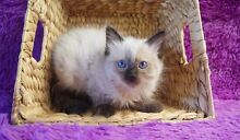 SEAL POINT RAGDOLL KITTEN Pleasure Point Liverpool Area Preview